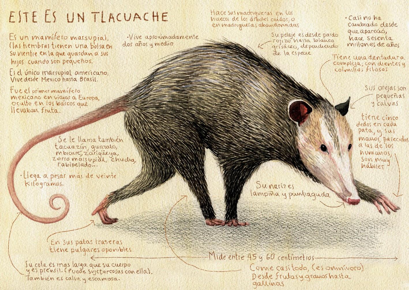 El Tlacuache – The Renewal Notice